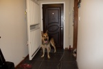 Riley heroically standing guard at the front door looking for intruders.jpg